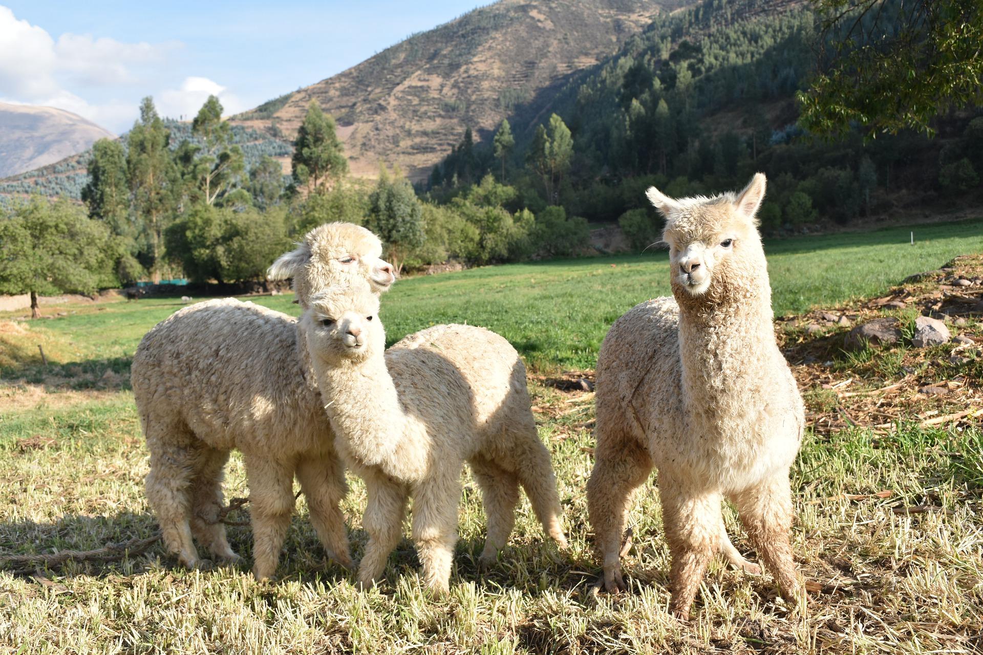 Alpaka Kuscheltier: Test & Empfehlungen (01/20)